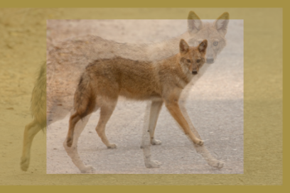 ambushed by the jackal…2-4-19